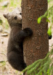 brown_bear_cub_by_picturebypali-d2dsv5o